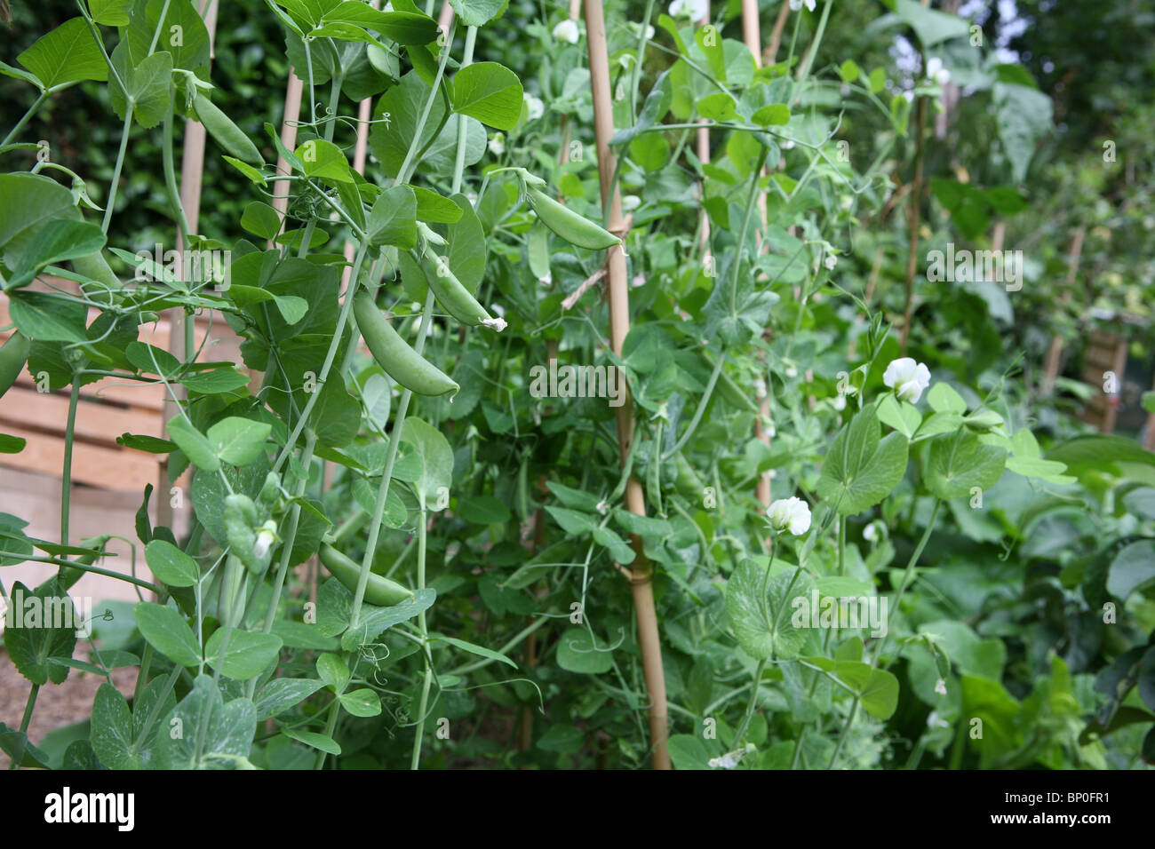 snow pea growing guide in melbourne