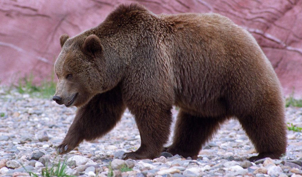 animal fact guide grizzly bears