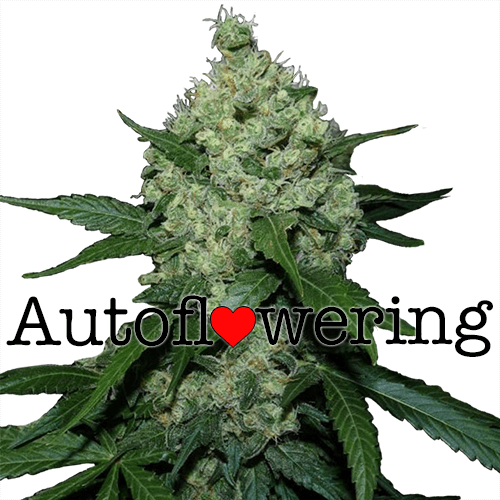 autoflowering cannabis seeds grow guide