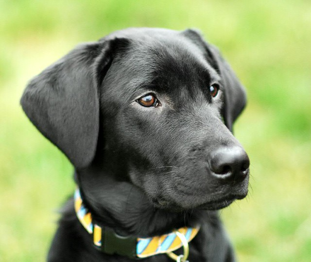 guide dogs of america puppy cam