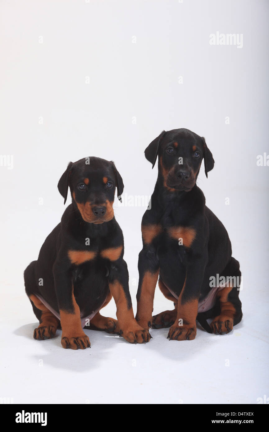 feeding guide for doberman puppies